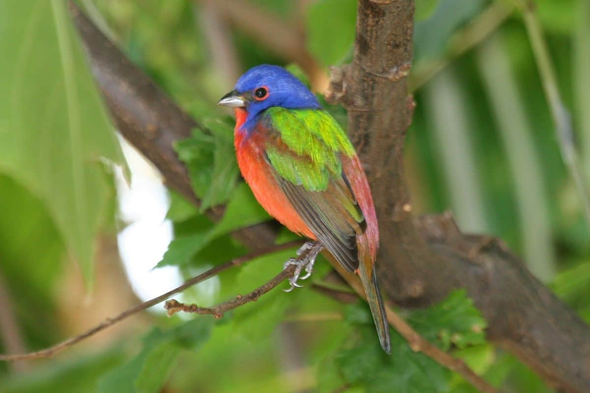 Painted buntings fun facts