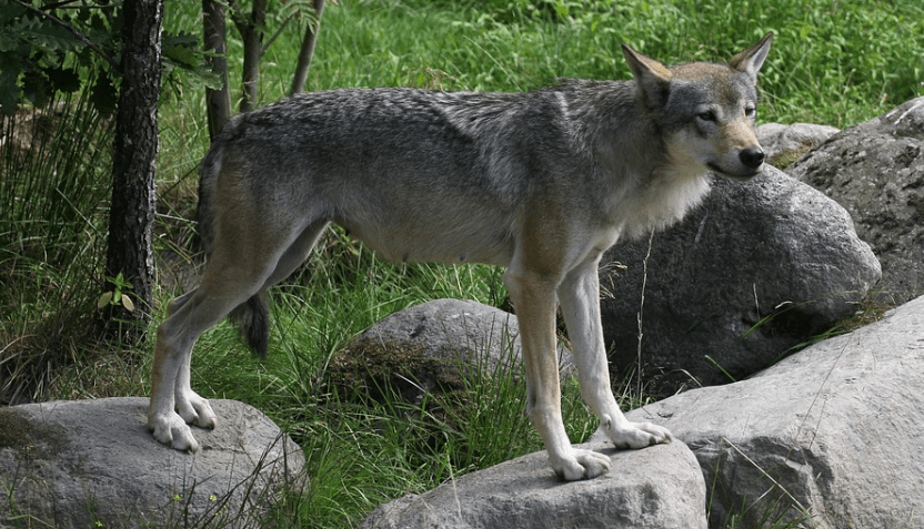 facts about gray wolves