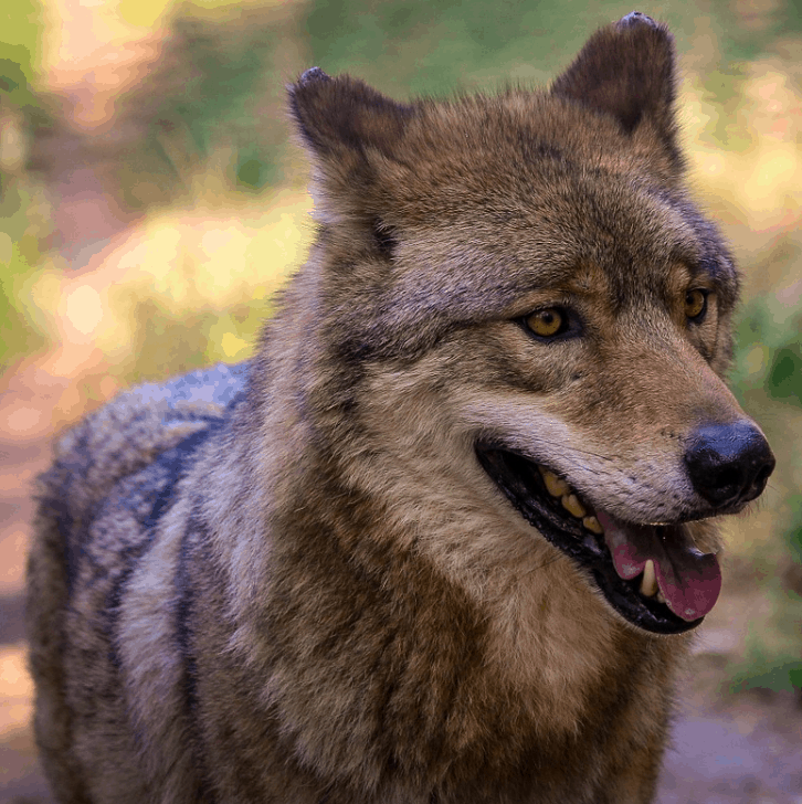 facts about grey wolves