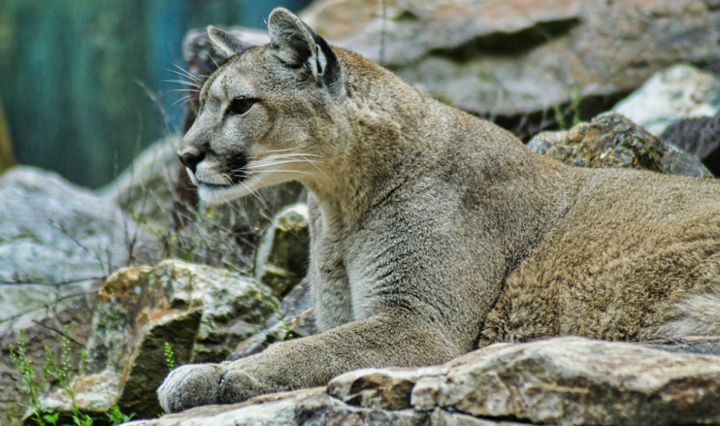 facts about mountain lions