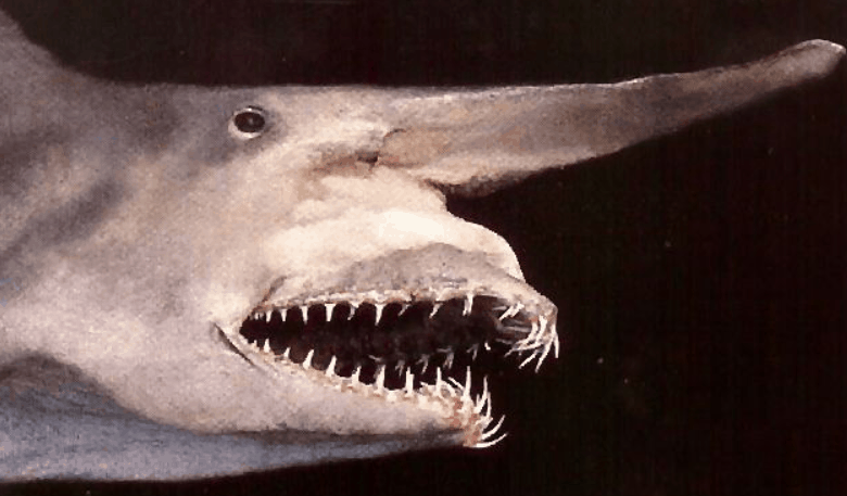 facts about the goblin shark