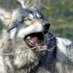 72 Interesting Facts About Wolves