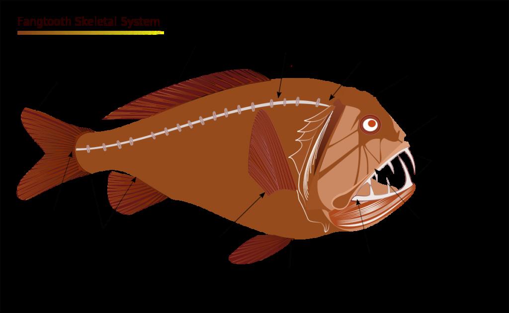Fangtooth fish skeleton