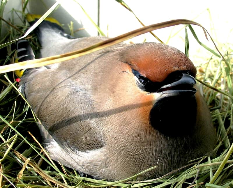 Female Bohemian waxwing on the nest