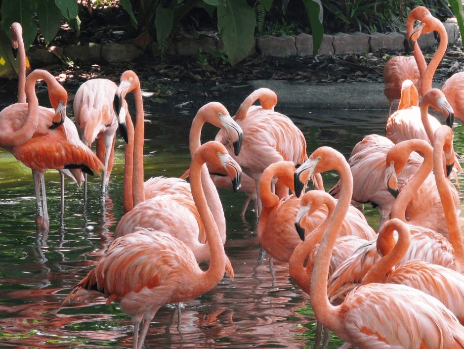 flamingo breeding group