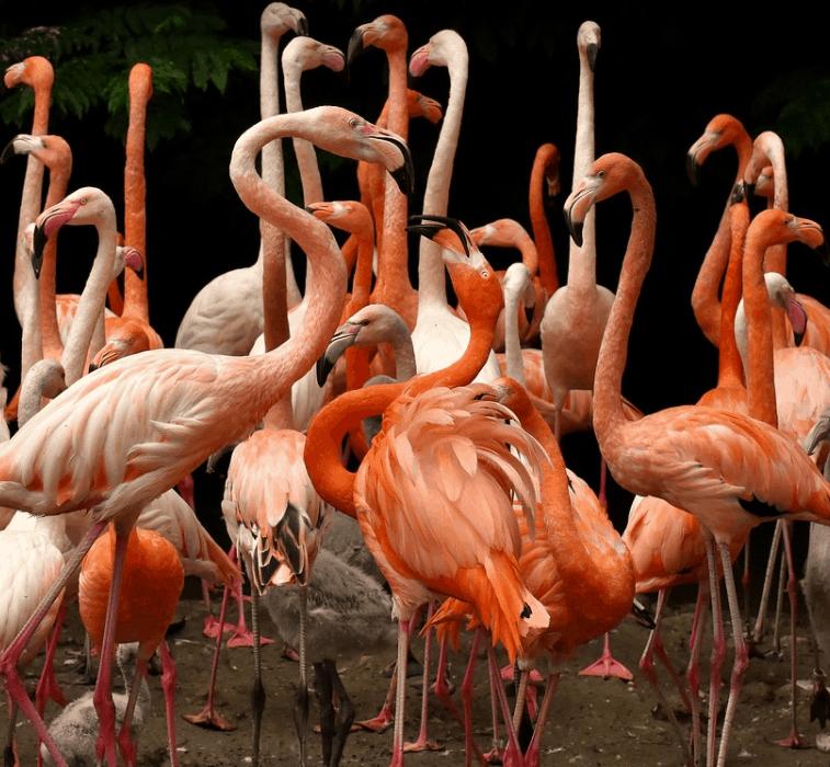 interesting flamingo facts