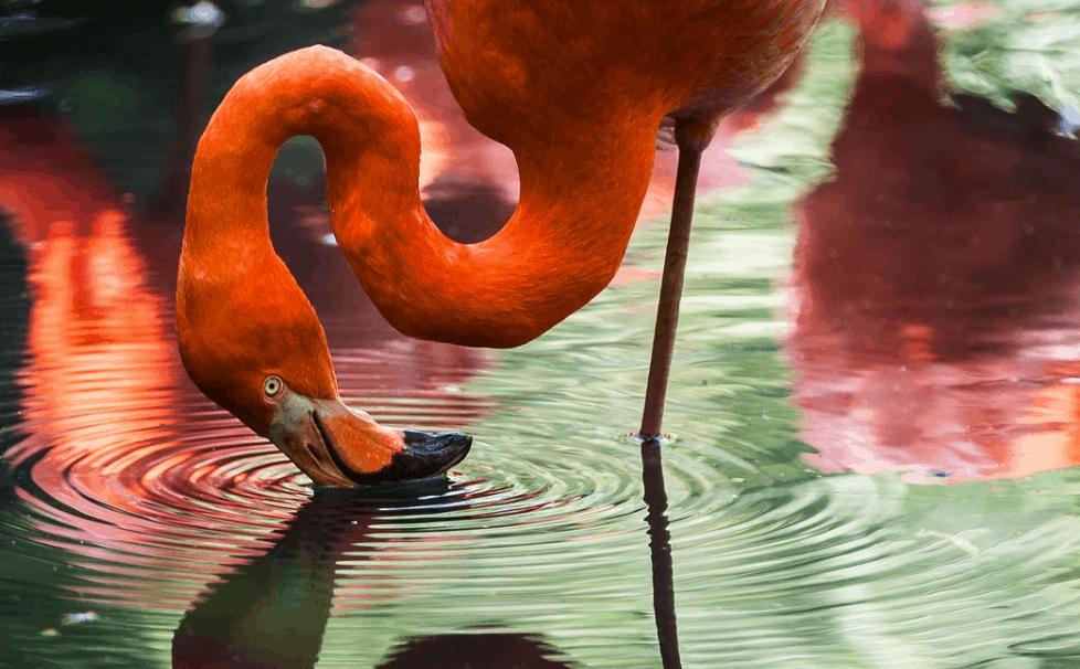 flamingo facts