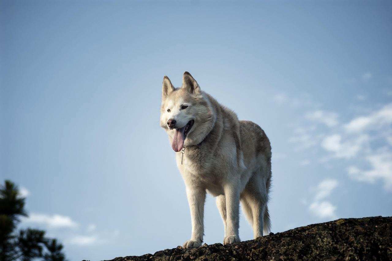 fun Siberian husky facts