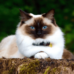 12 Amazing Facts About Birman Cats