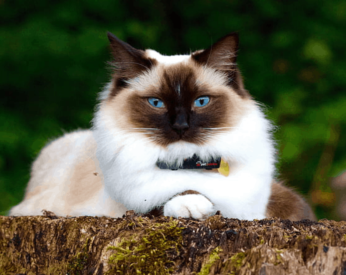 fun facts about Birman cats