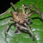 Top 10 Brazilian Wandering Spider Facts