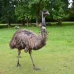 Top 12 Interesting Facts About Emus