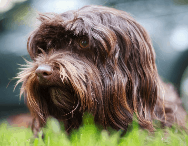 National dog of Cuba