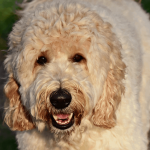 12 Fascinating Facts About Labradoodles