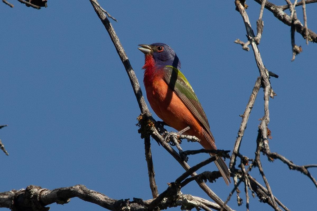 Are Painted buntings endangered