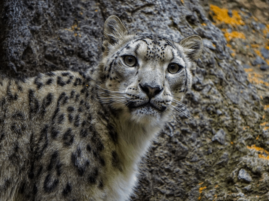 fun facts about snow leopards