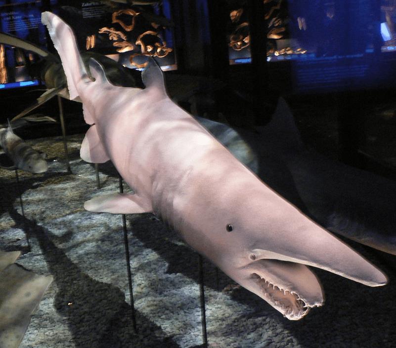 goblin shark in Wien museum