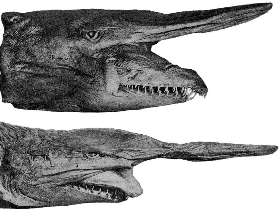 goblin shark species