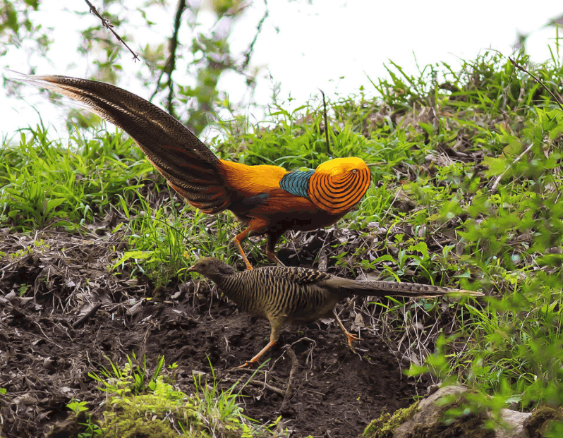 courtship ritual golden pheasant
