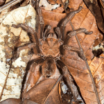 Top 10 Fascinating Goliath Birdeater Facts