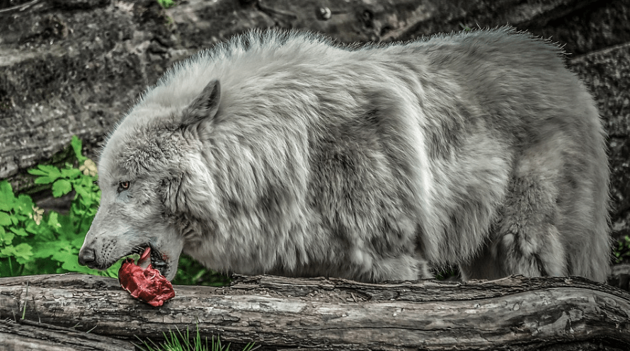 Grey wolf eating meat