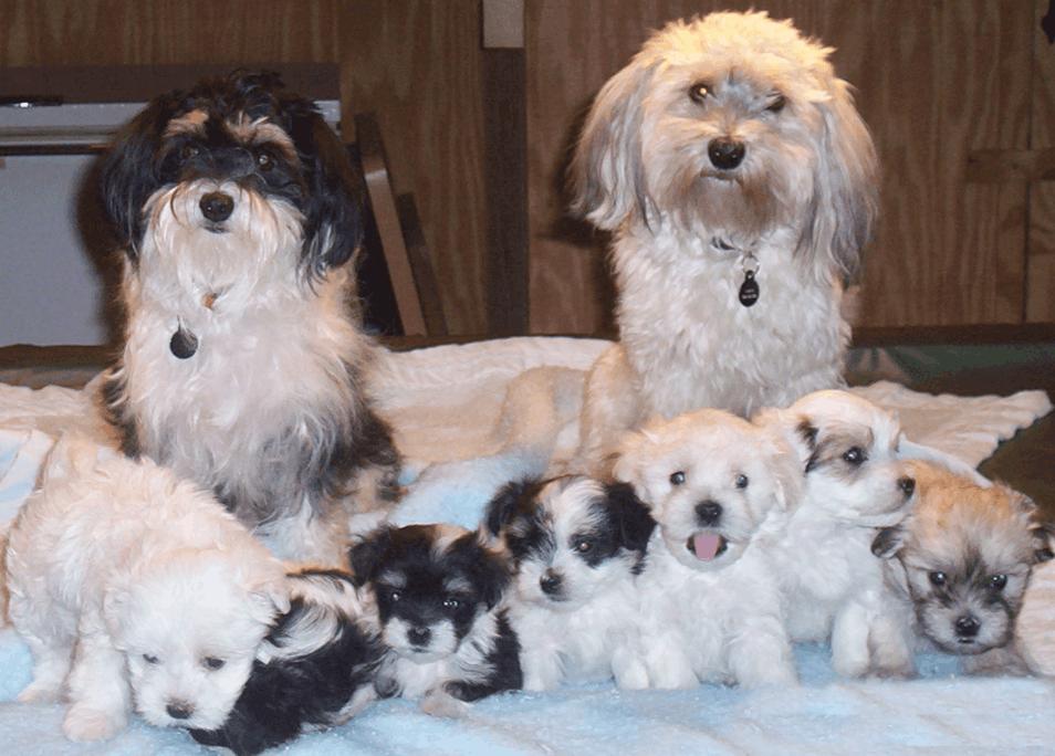 Havanese dog breeding