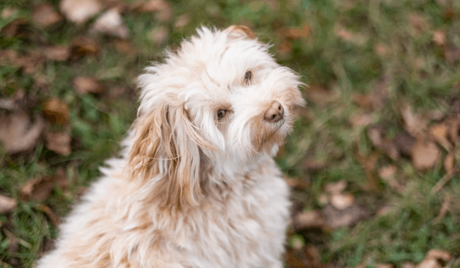 fun and amazing facts about Havanese dogs