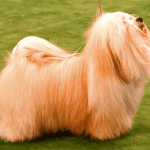 15 Friendly Facts About Havanese Dogs