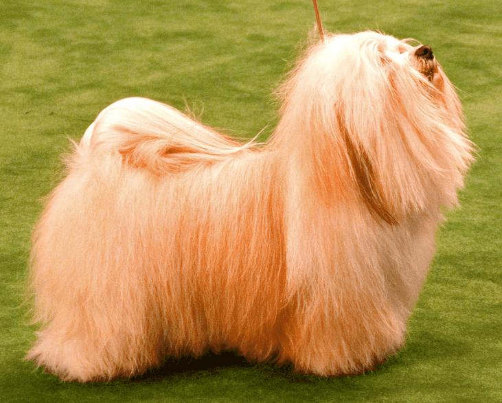 Havanese dog long hair