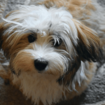Top 15 Least Aggressive Dog Breeds