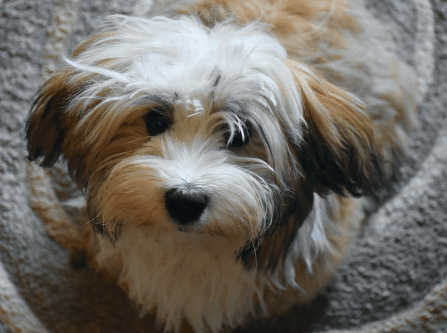 Havanese dog cute