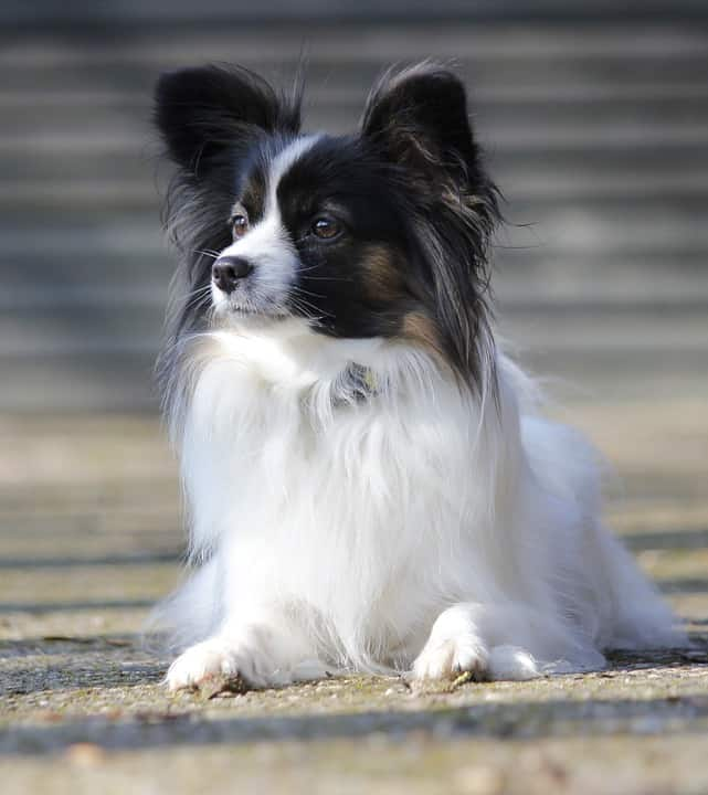 Papillon lying on the ground