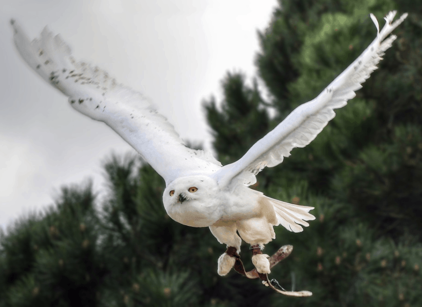 snowy owl wingspan