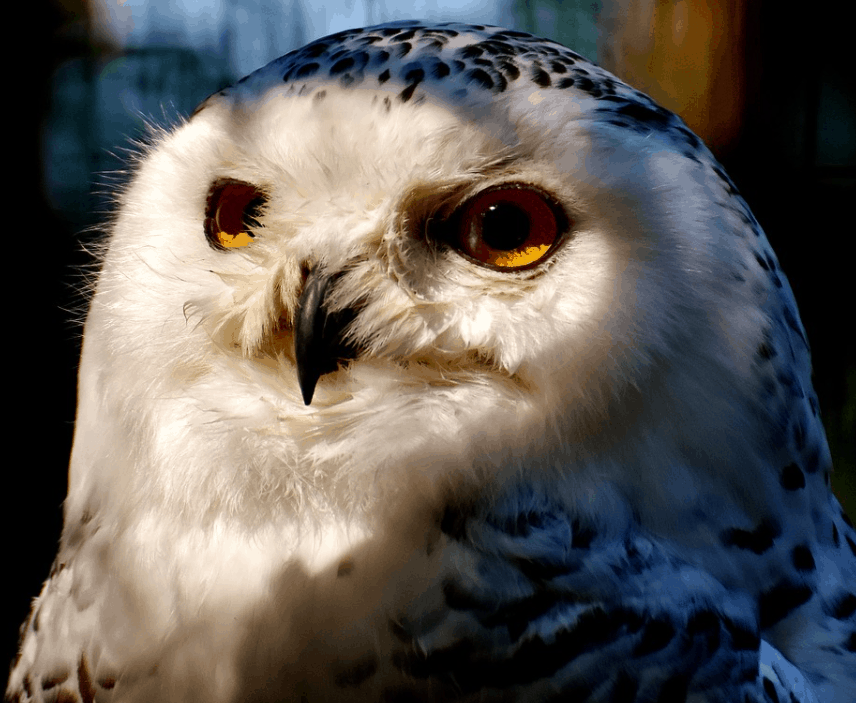 how long do snowy owls live