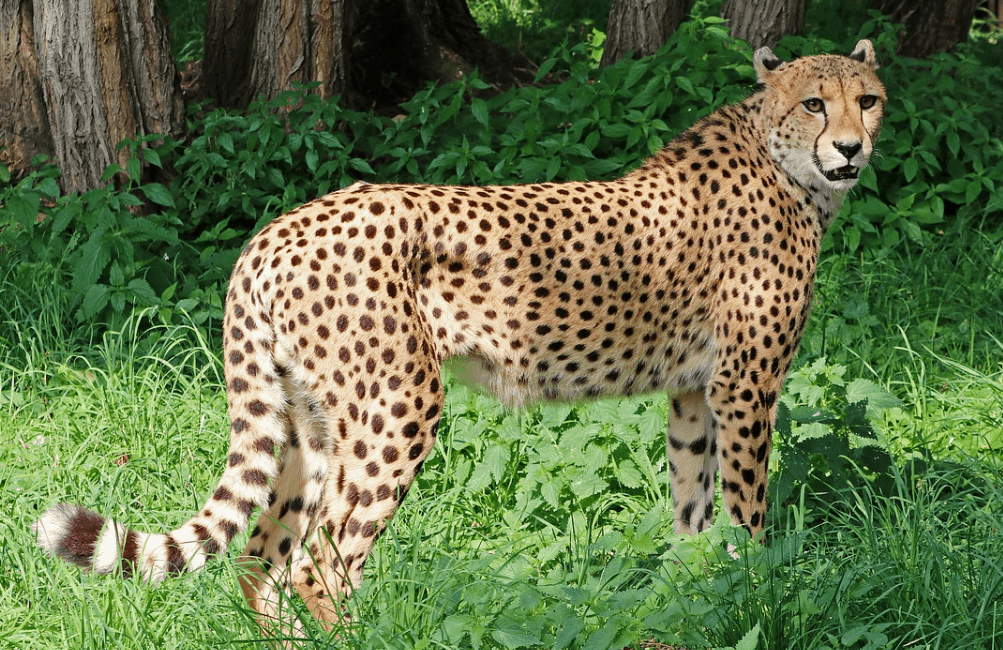 how big are cheetahs