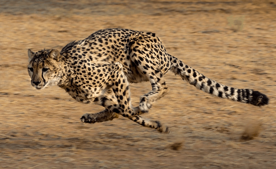 how fast are cheetahs