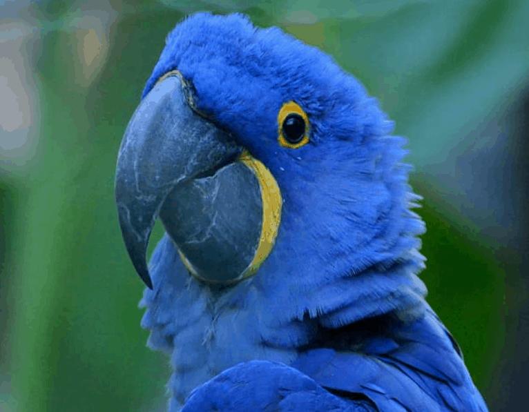 Hyacinth macaw yellow spots