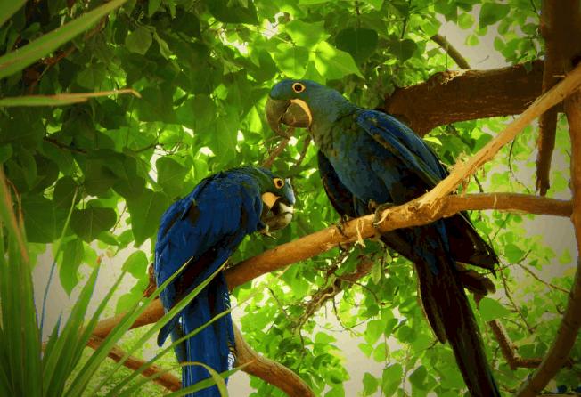 Hyacinth macaw facts