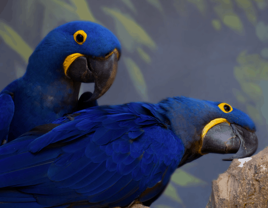 hyacinth macaw fun facts