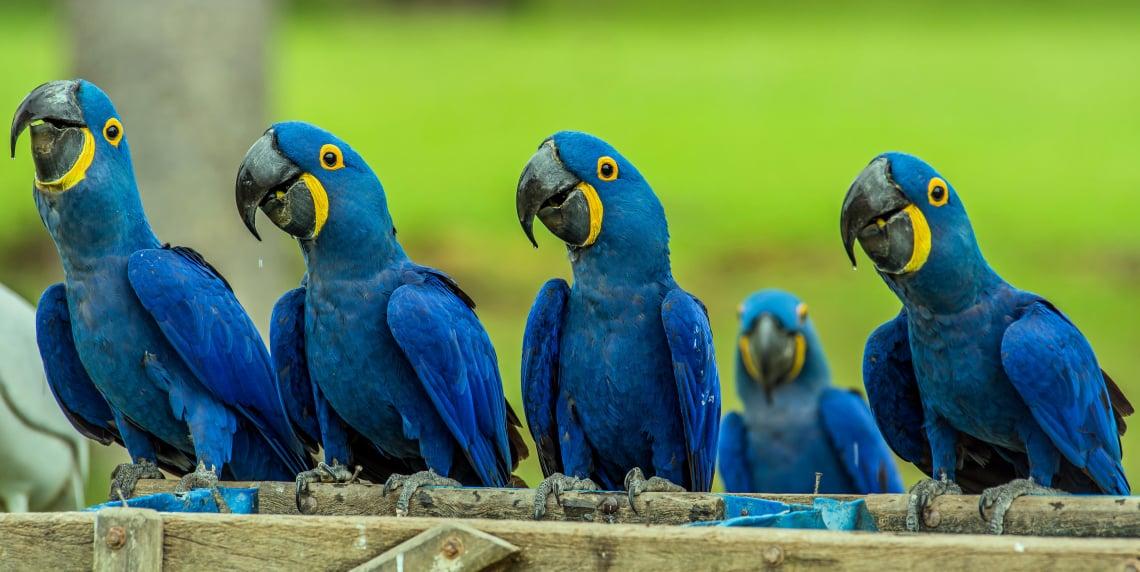 Hyacinth macaws gentle giants