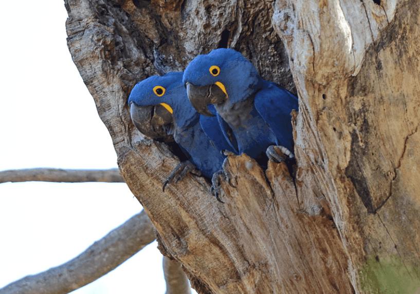 pair of hyacinth macaws in tree
