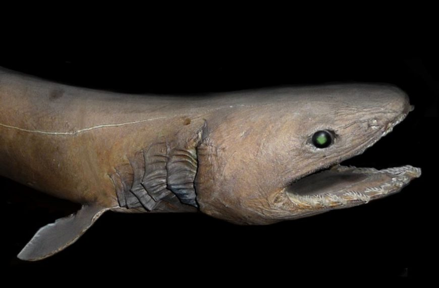 15 Interesting Frilled Shark Facts