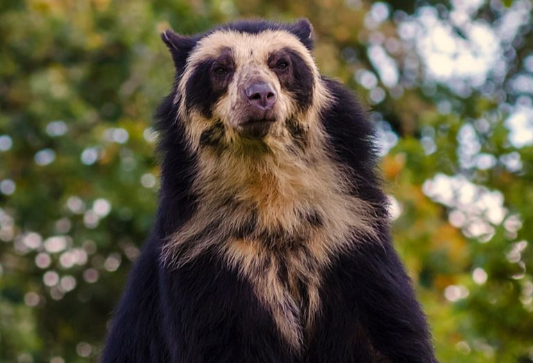 15 Remarkable Spectacled Bear Facts