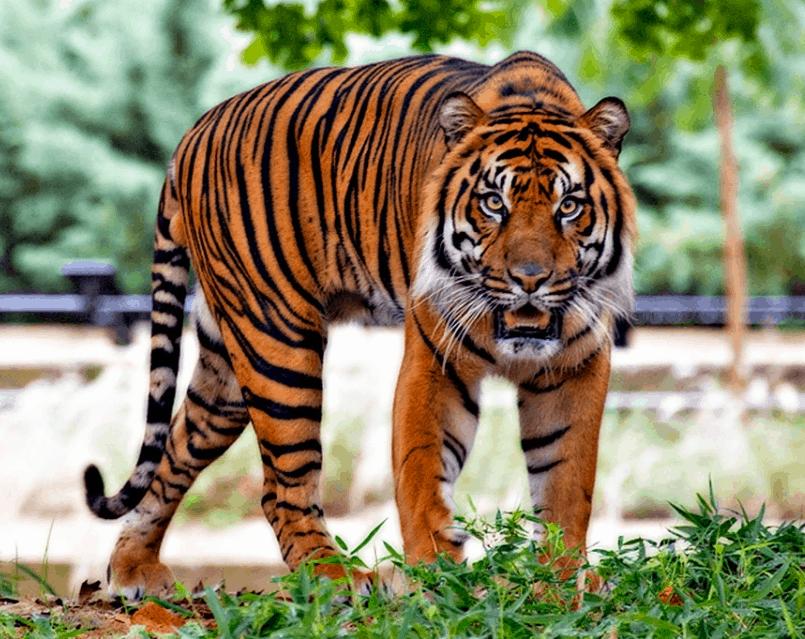 Top 10 List of Big Cats Species