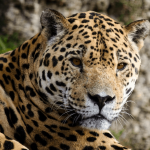 10 Cool Jaguar Facts