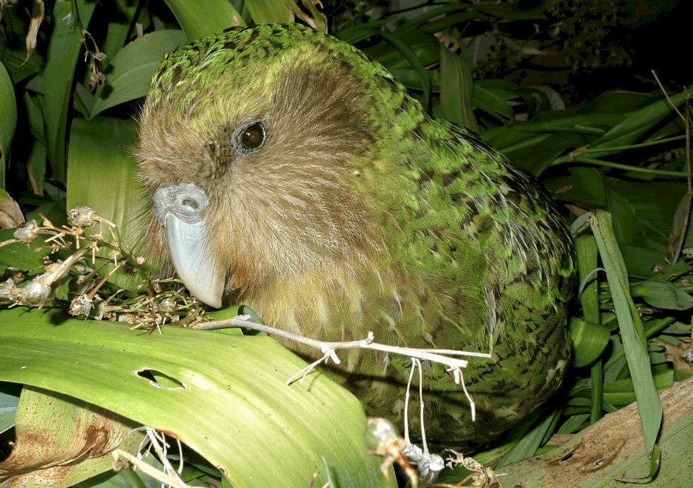 Kakapo owl parrot