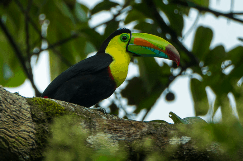 keel-billed toucan facts