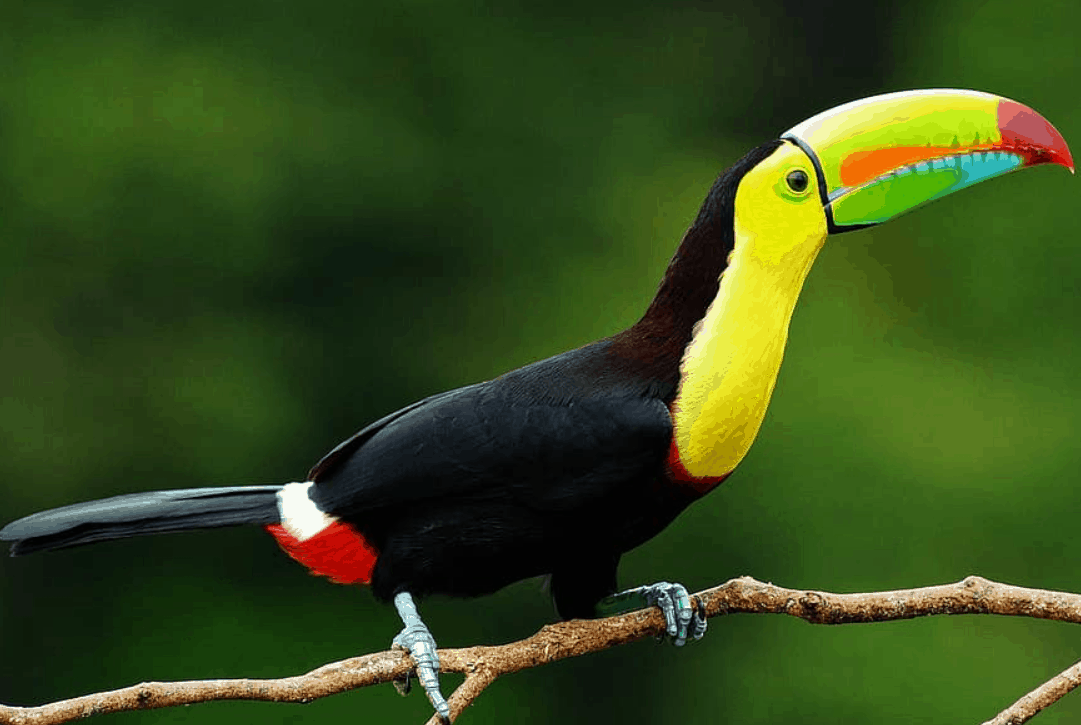 Keel-billed toucan interesting facts