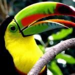 12 Wonderful Keel-Billed Toucan facts