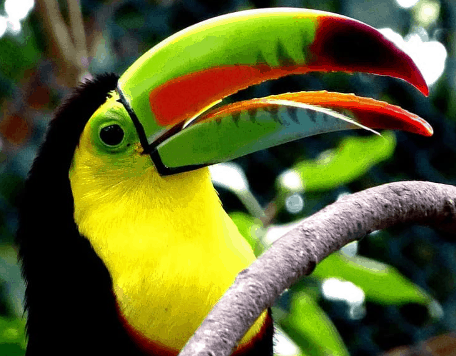 keel billed toucan playing
